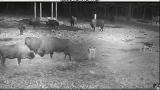 Wilki atakują stado Żubrów   17.12.2016 r
