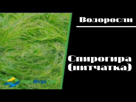Нитчатая водоросль спирогира. Как бороться с нитчаткой в аквариуме?