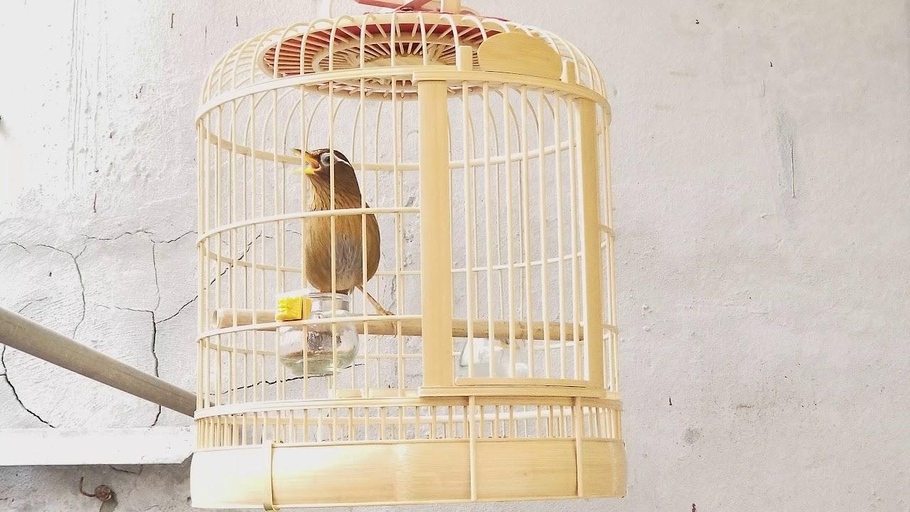 họa mi hàng tết ccdv2025 thuần hót hay lắm giá 1.8t riêng chim LH 0944114410  đã bán