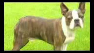 Dog Breeds & Dog Training : How to Care for a Boston Terrier