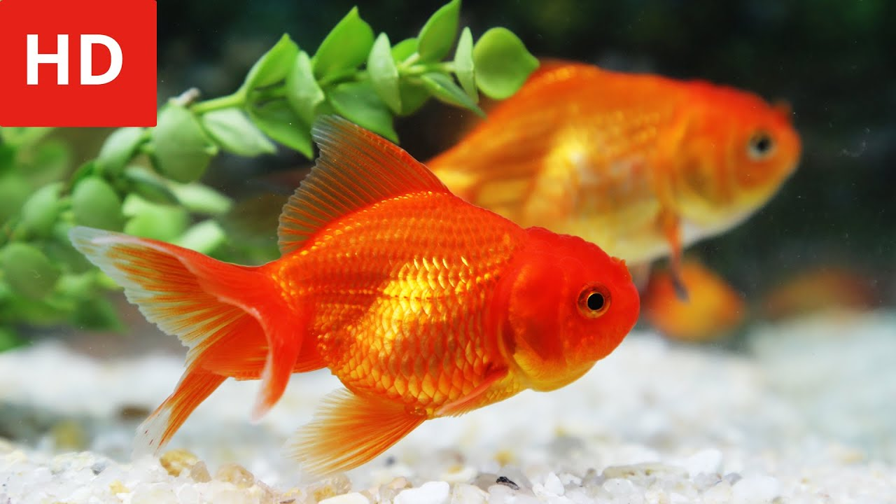 Beauty of Goldfish - HD 1080p - YouTube