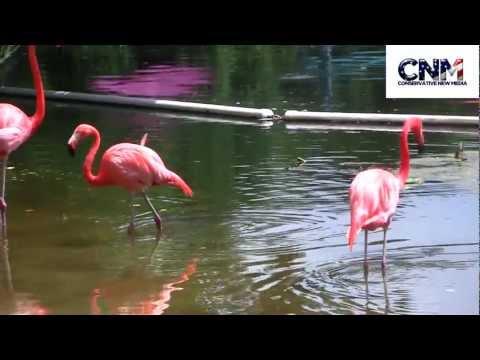 American Flamingos (AKA Caribbean Flamingos) in 1080P HD