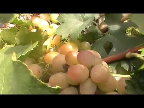 Сорт винограда Азалия - сезон 2015
