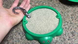 Песчаный удав играет с новой игрушкой