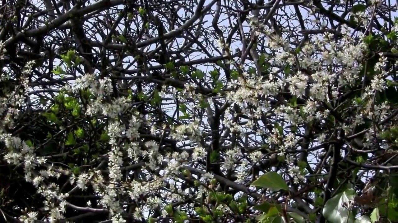 Early Spring Bloom Spray Of White Flowers In A Hedgerow Youtube
