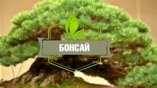 Бонсай ➡ Как вырастить бонсай дома или в саду?