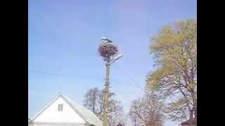 Аисты в гнезде (storks in the nest)