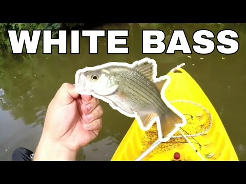 Lake Livingston Texas Fishing For White Bass