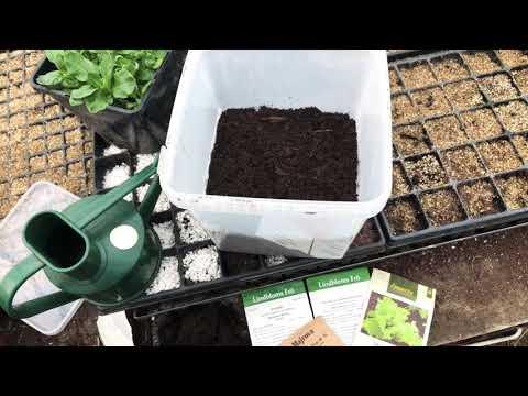 Pluggplantor i frökuvös för att odla effektivt i min köksträdgård