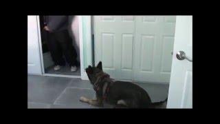 Amazing German Shepherd!  (personal Protection Dog Work)