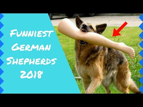 Funny German Shepherds (Cute Video Compilation)