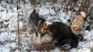 Охота #114 атаковал кабан(E-mail: hunterworld777@gmail.com ○ Instagram Мир Охотника: ▻ http://www.instagram.com/hunterworld777/ ○ группа вКонтакте