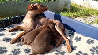 Купить щенка той-терьера. Русский той, мини, РКФ.8-905-546-66-92