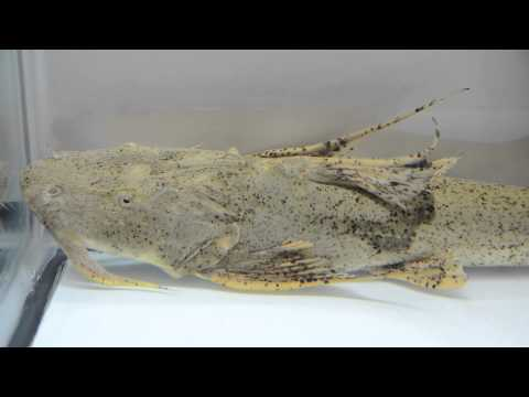 Goonch | River Monsters from YouTube · High Definition · Duration:  56 seconds  · 21,000+ views · uploaded on 5/14/2014 · uploaded by Discovery Channel Southeast Asia