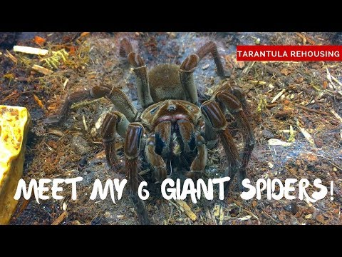 Giant Spiders! Meet my 6 Goliath Birdeater Tarantulas!