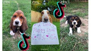 Cutest Basset Hound  Funny and Cute Basset Hound Videos