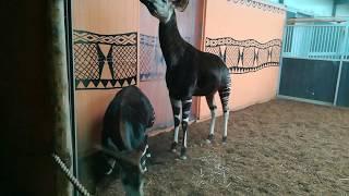 Okapis paring Okapi mating Safaripark De Beekse Bergen