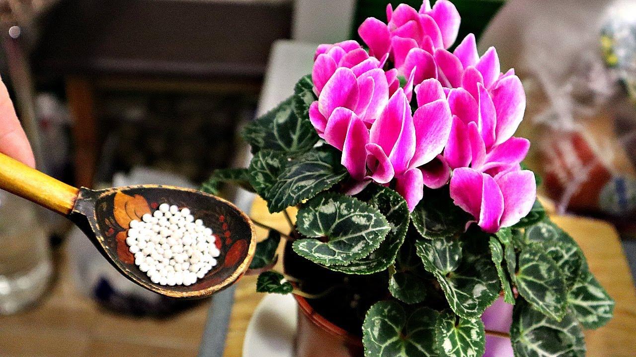 1 ложечка и цветение уже не остановить! У соседки домашние цветы роскошные Суперфосфат цветам в доме