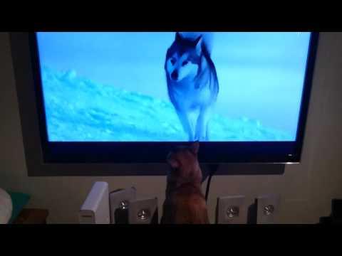 Burmese cat watching the movie Eight below.