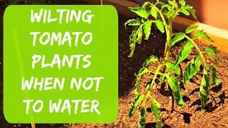 Growing Tomatoes and Peppers in Arizona - When NOT to Water Wilting Plants - Organic Gardening Tips