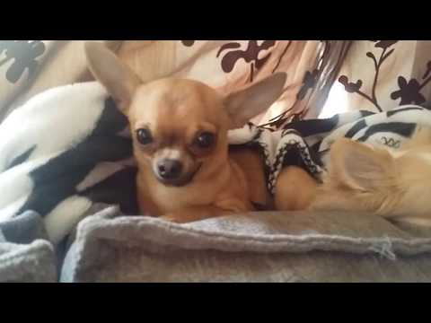 Grumpy chihuahua can't be touched when sleeping
