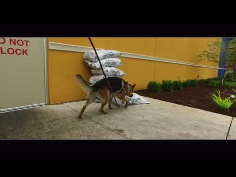 German Shepherd Learning Semi-Urban Tracks!  Search and Rescue Dog Trainers Virginia