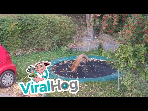 Delana's Dish - Friday Fun!  Fox discovers a trampoline and has the time of his life.