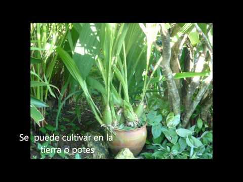 FLOR DEL ESPÍRITU SANTO -PANAMÁ
