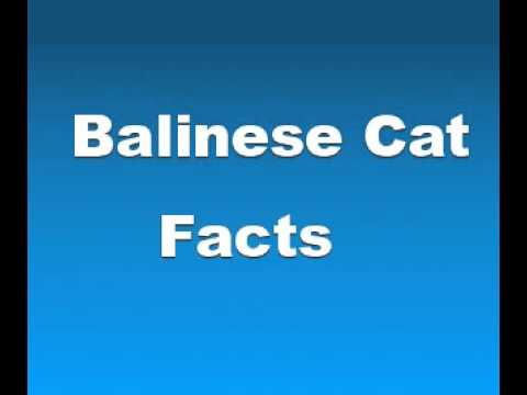 Balinese Cat Facts - Facts About Balinese Cats
