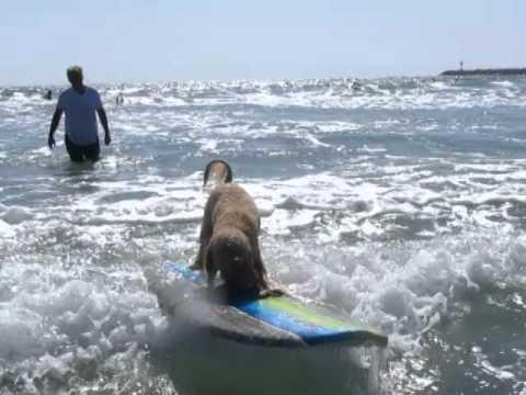 Dog Surfing In Ocean Beach Park