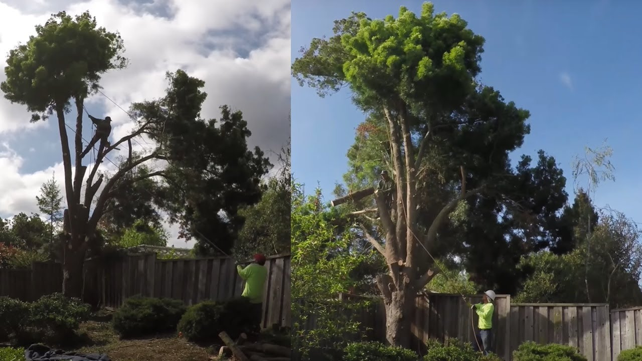 How To Cut Down A Large Tree In Sections Safely Without Damaging ...