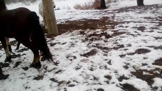 Parenje konja pastuh toplo krvnjak kobila krizana