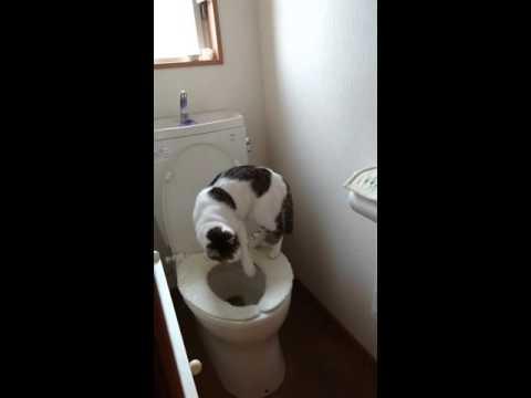 洋式トイレでおトイレをする日本猫【音量注意】