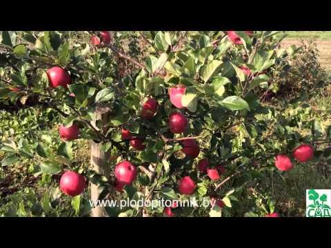 Яблоня Описание сортов яблонь, фото яблок Плодопитомник Ляхи