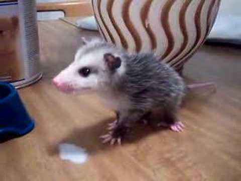 Feeding my possum