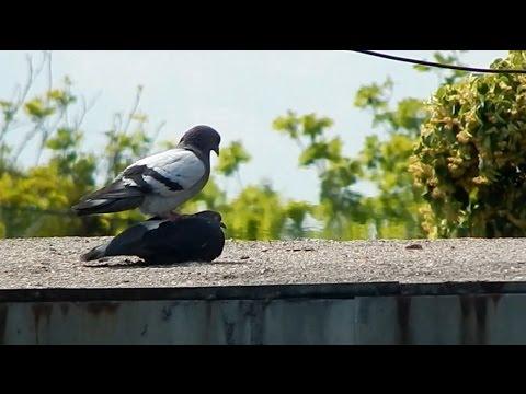Как спариваются голуби видео