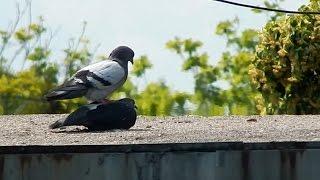 Голуби - Любовно-брачный период голубей - Спаривание голубей - Голубиная сага
