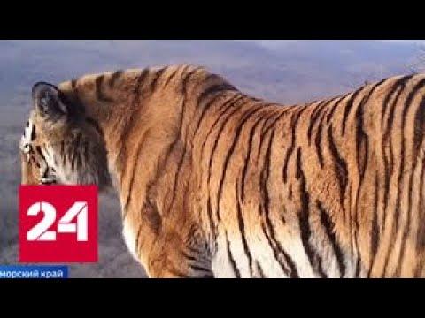 Жизнь по соседству с тиграми - Россия 24