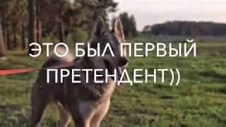 Вязка западносибирской лайки!