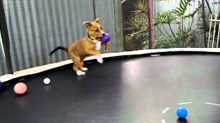 Staffy X Rotty Puppy Jumping On Trampoline