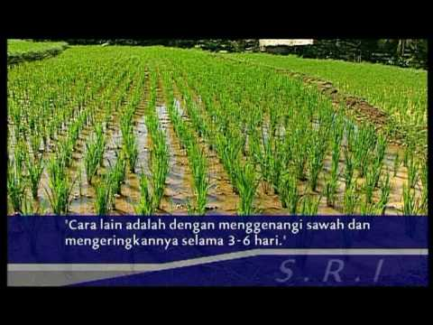 System of Rice Intensification SRI Bahasa Indonesia Pt3