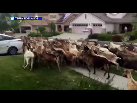 goats-invade-california-neighborhood