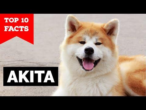 Akita - Top 10 Facts (Hachiko)