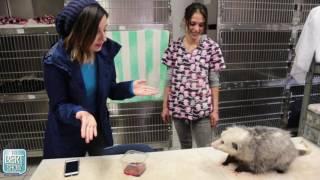 Davi Meets A Possum!