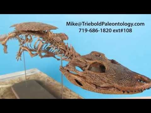 Stangerochampsa   Triebold Paleontology