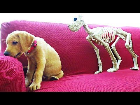 Halloween Prank: Skeleton Scares Funny Dog