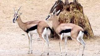 Thomson´s Gazelle Paarung Mating
