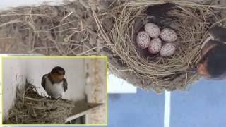 6/29~7/3の毎朝1つずつ5つの卵が生まれて ただいま抱卵中です。 雛の...