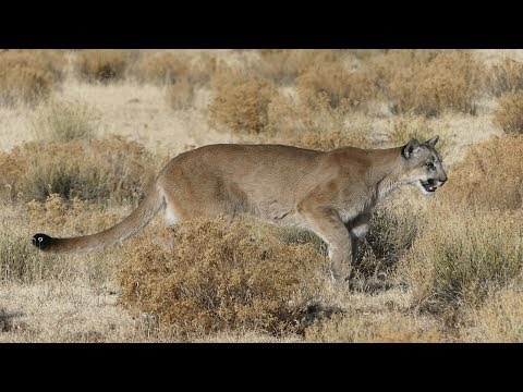 Calling In A Mountain Lion