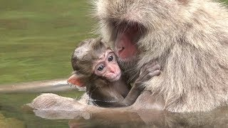 It is a cold day in winter when the monkeys enter the hot springs. ...
